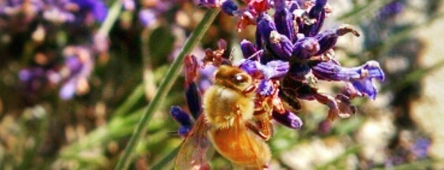 Sunshine Lavender Farm is one of Stephniさんのお気に入りスポット.