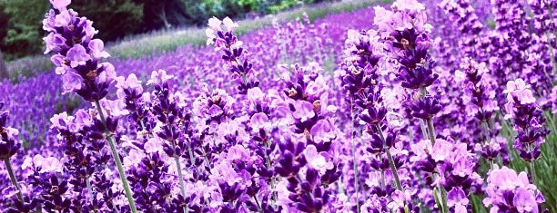 Lavender By the Bay - New York's Premier Lavender Farm is one of NYC Left to Do.