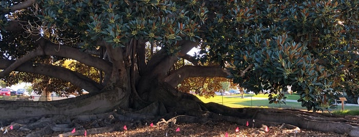 Moreton Bay Fig Tree is one of Lieux qui ont plu à Alfa.
