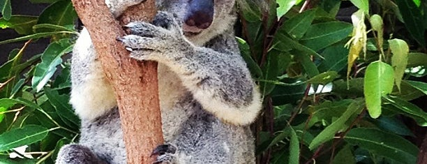 Lone Pine Koala Sanctuary is one of Brisbane Recs.