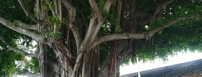 Bayside Banyan Tree is one of Miami.