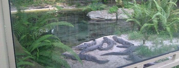 Alligators is one of My vacation @Orlando.