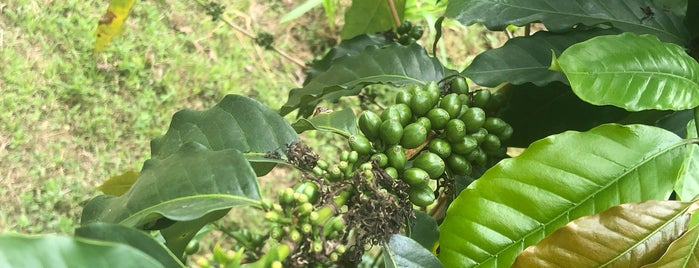 Holualoa Kona Coffee is one of Hawaii.