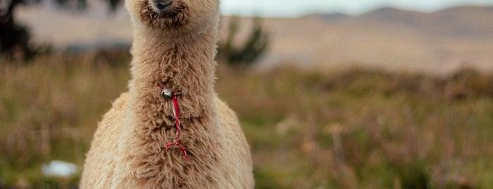 Sentinel Ranch Alpacas AlpacaLand Montana is one of Bozeman 2020.