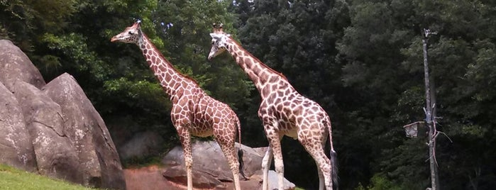 NC Zoo: Africa is one of NC To-do list.