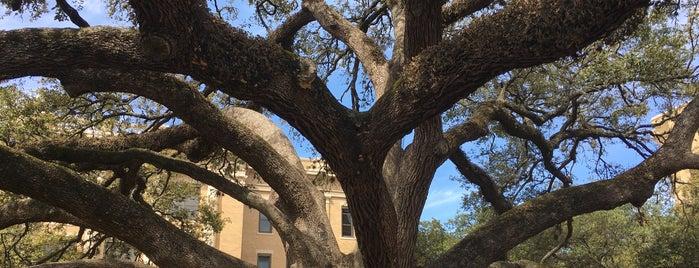 Century Tree is one of Texas.