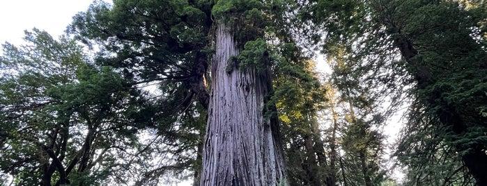 Big Tree is one of West Coast Road Trip.