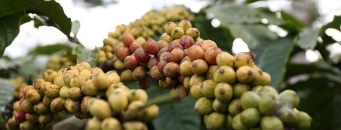 Coffee Plantation (Kopi-Oseng) is one of Java / Indonesien.