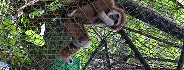 Gibbon Rehabilitation Project is one of Rafael'in Beğendiği Mekanlar.