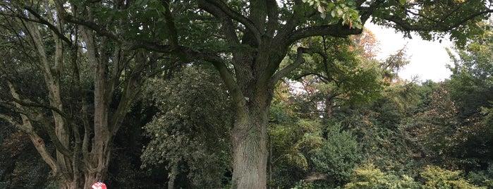 Yakut Ağaçları