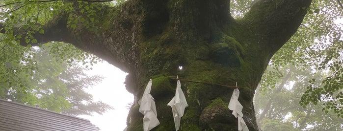 熊野皇大神社のシナノキ is one of Lieux qui ont plu à T.