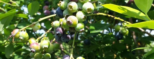 Blue Youth Berries is one of Hidden Treasures of Tampa Bay.