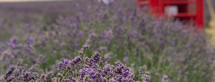 Mayfield Lavender Farm is one of Sai Sai.