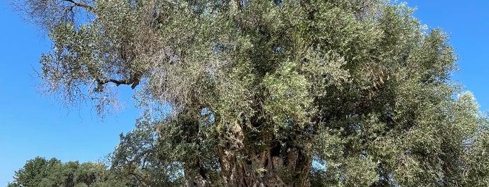 Umay Nine Ağacı is one of sığacık.