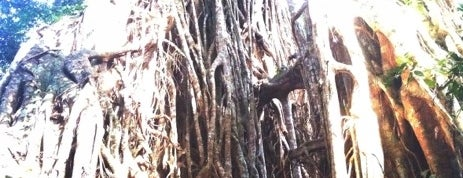 Curtain Tree Fig is one of Eastern Australia Guide.