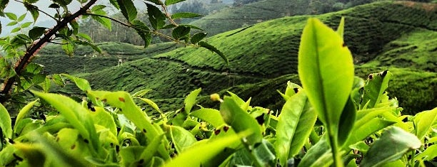 Boh Tea Plantations is one of Lugares favoritos de Kevin.