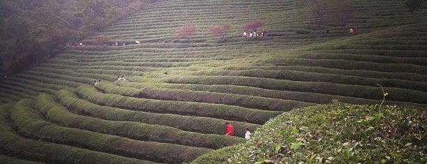 Boseong Dawon Green Tea Field is one of South Korea.