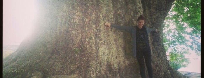 900 Year Old Plain Tree | 900 წლის ჭადარი is one of Lidiaさんのお気に入りスポット.