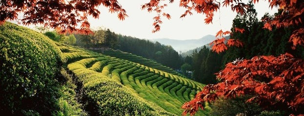 Boseong Dawon Green Tea Field is one of South Korea.