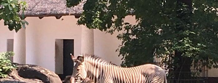 Grévyzebra | Zoo Berlin is one of Tempat yang Disukai Sevil.