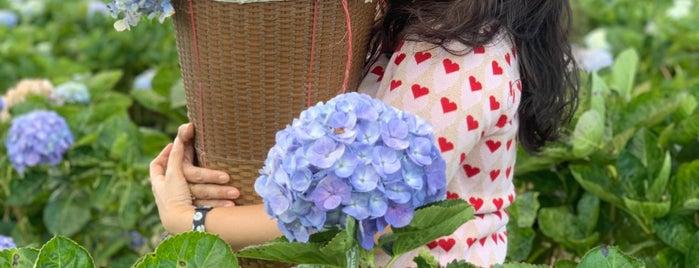 ทุ่งดอกไฮเดรนเยีย บ้านขุนแปะ is one of เชียงใหม่_3_Coffee.