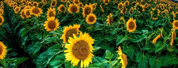 Sunflower Field is one of Yunusさんのお気に入りスポット.