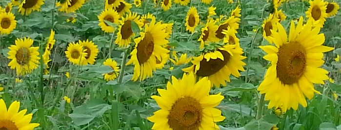 Sussex County Sunflower Maze is one of Regional Activities.