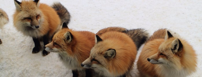 Zao Fox Village is one of Japan/Other.