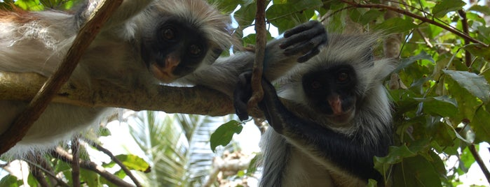 Jozani Forest is one of Tanzanya Zanzibar Gezilecek Yerler.