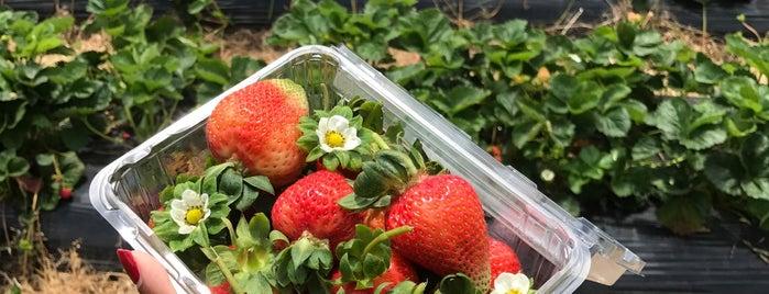 sunny Ridge strawberry farm is one of Australia.