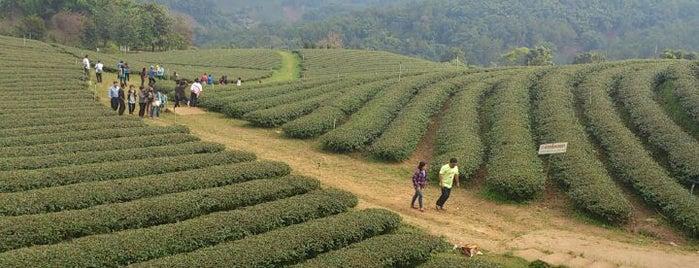 Tea 101 Plantation is one of Chiang rai jaoo.