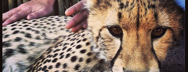 Cheetah Outreach Paardevlei is one of Cape town.