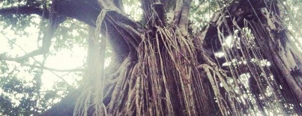 Curtain Tree Fig is one of Ozzie Kiwi.