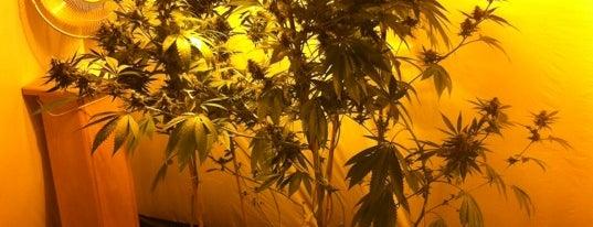 Cannabis College is one of สถานที่ที่ Alena ถูกใจ.