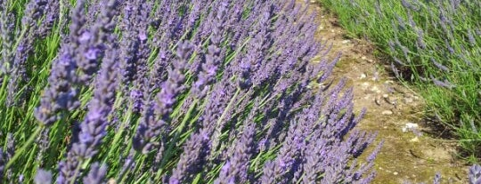 Hitchin Lavender Farm is one of London.