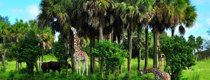 Kilimanjaro Safaris is one of Disney Land Florida.