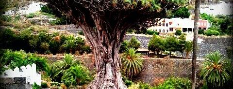 Parque del Drago is one of Islas Canarias: Tenerife.
