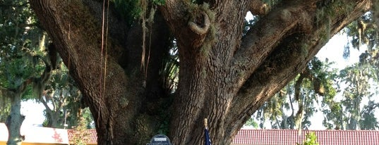 The Old Senator Tree is one of St Augustine Florida.