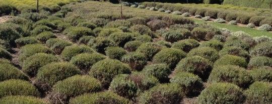 Lavandula Lavender Farm is one of Australia and New Zealand.