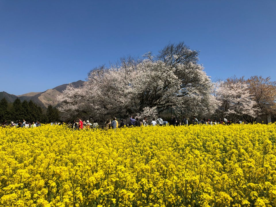 一心行大櫻花樹