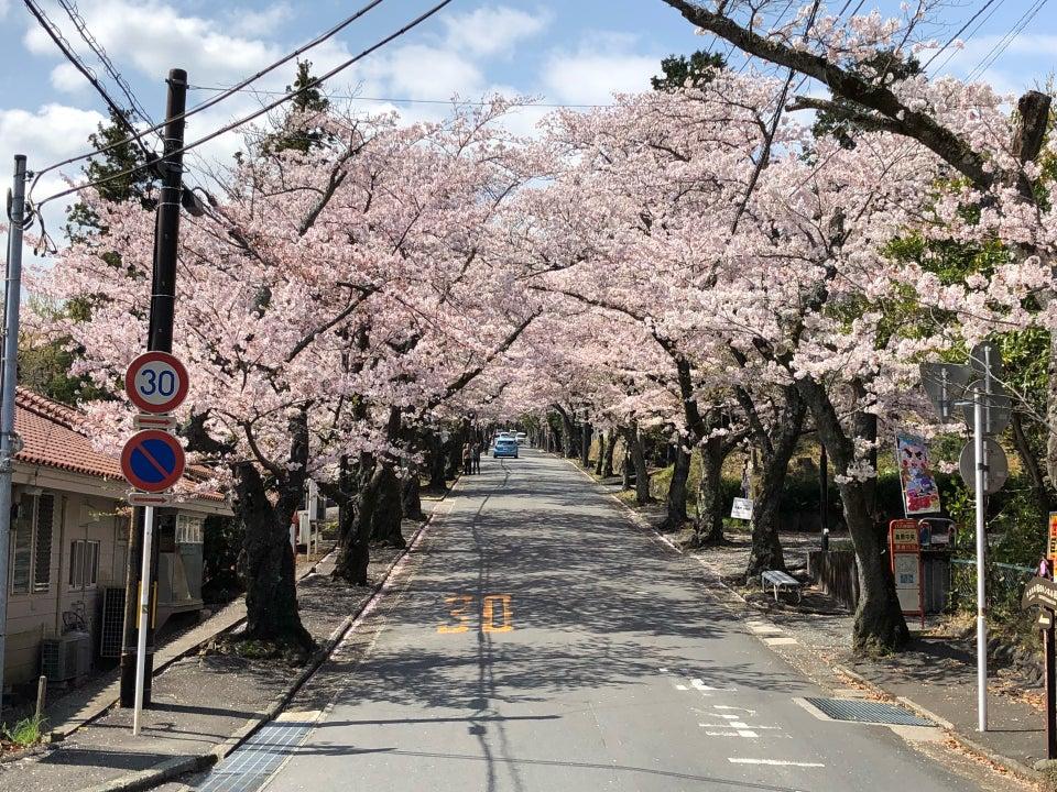 伊豆高原櫻並木
