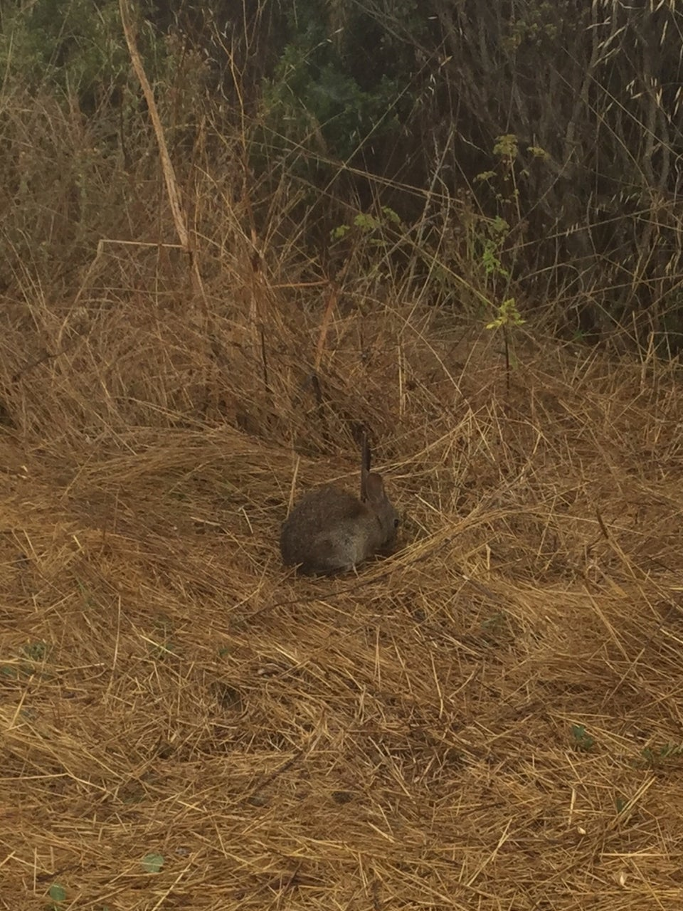 Curious bunny sitting in straw next to bushes on the side of Coastal Fire road on the downhill to Muir Beach.