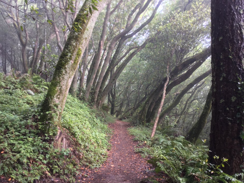 Coastal view trail in a lush misty forest with most of the trees leaning to the right with the wind.