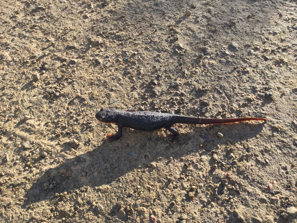 Purple salamander on smooth trail, glistening in the sun, casting a long shadow.
