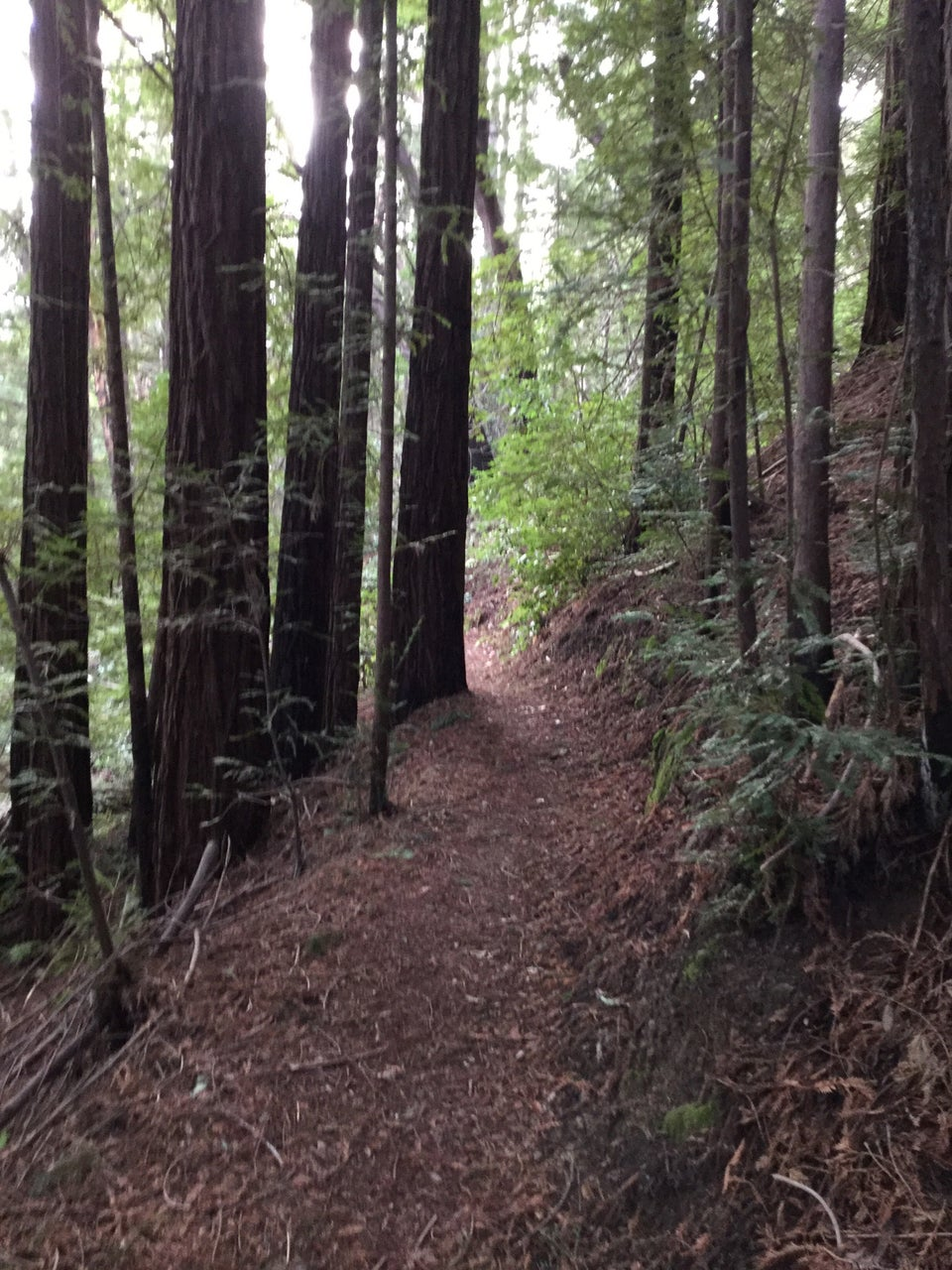 Dense tall trees, only their trunks visible on either side of a narrow but smooth dirt trail.