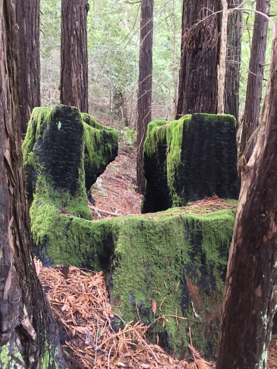 Healthy tree trunks surrounding a few long ago burned out and cut-off thicker trunks, now covered in moss, their split levels making them appear like big green chairs.