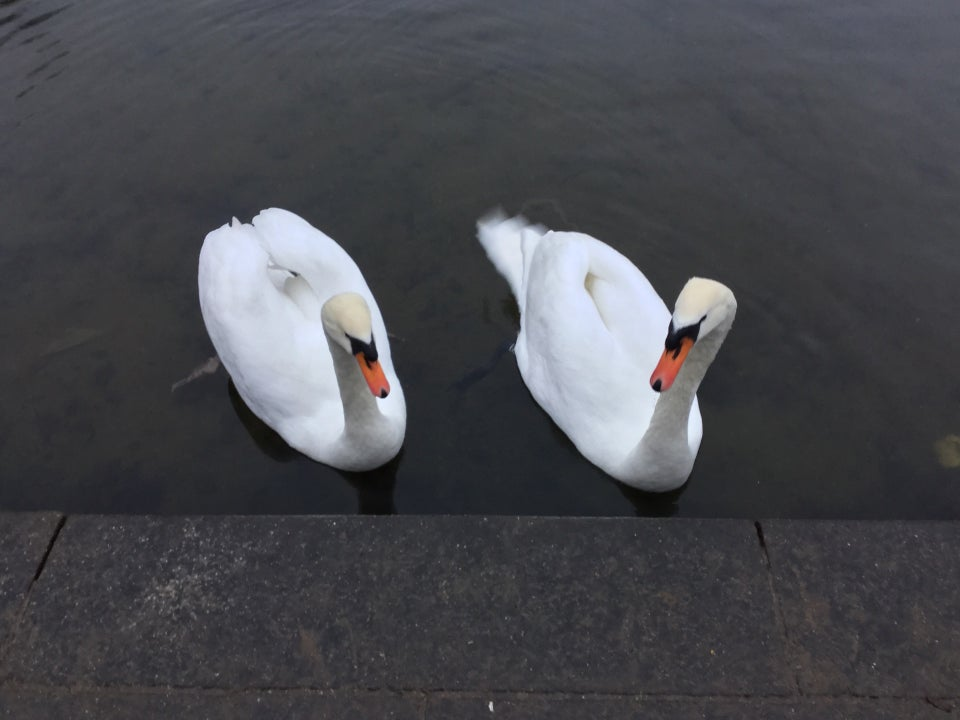 Two swans at the shore of a pond, gazing sideways at each other and toward the concrete shore in front.