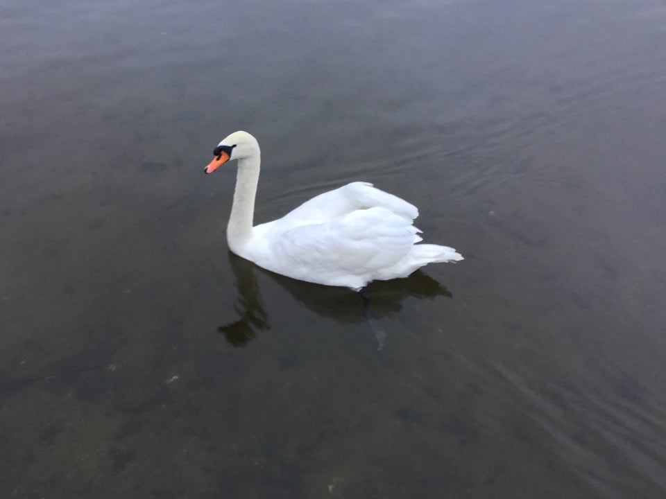 A single swan swimming slowly on a pond, partly darkly reflected in the water.
