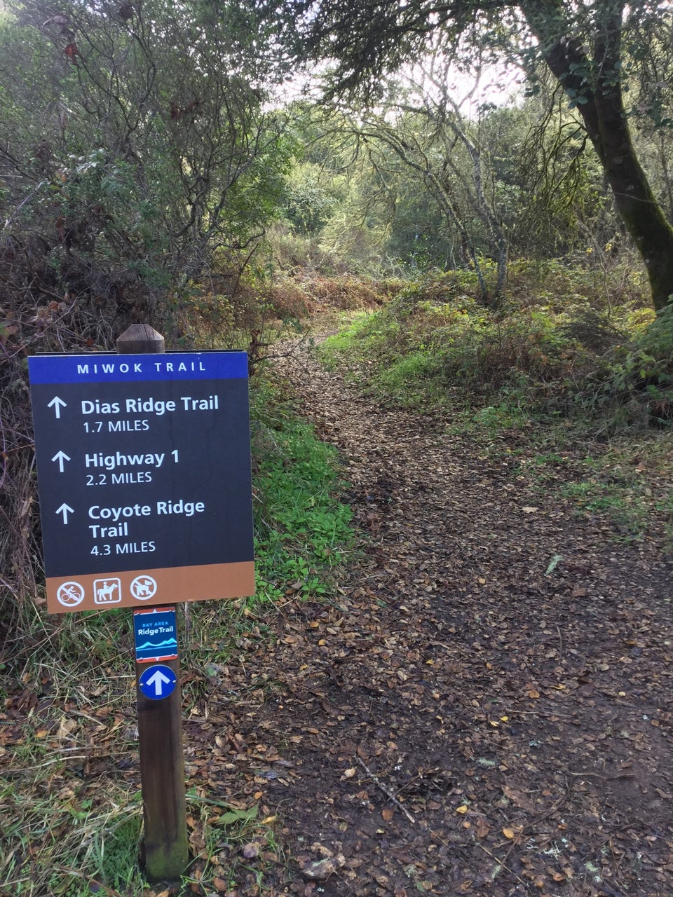 Miwok Trail sign, noting destinations and distances, a smooth trail covered in brown leaves winding up and away, with green grash and bushes on either side, shaded by trees.