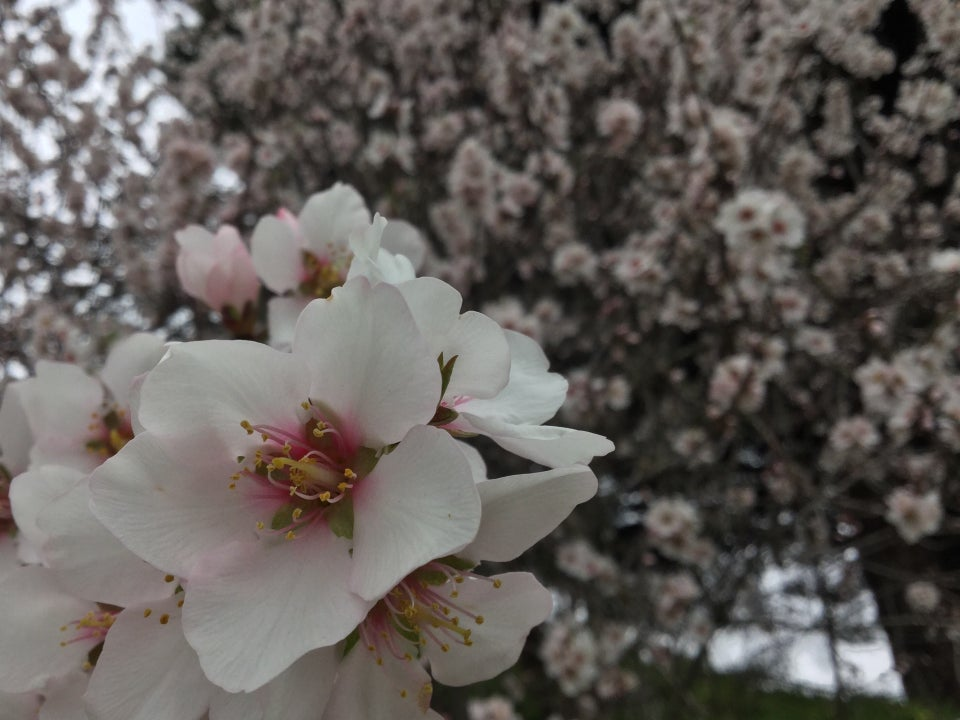 Cherry blossom up close, with more cherry blossoms on a tree in the background, out of focus.
